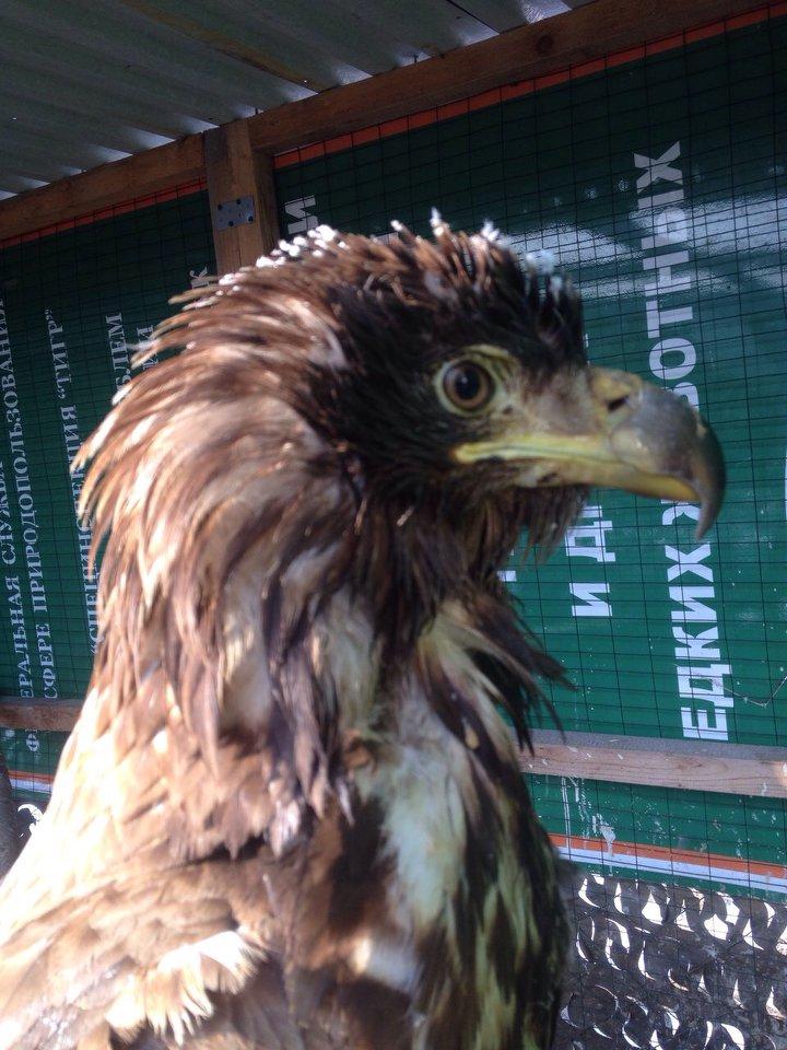 фото орланов белохвостов