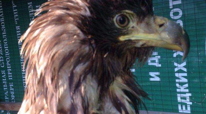 орлан-белохвост