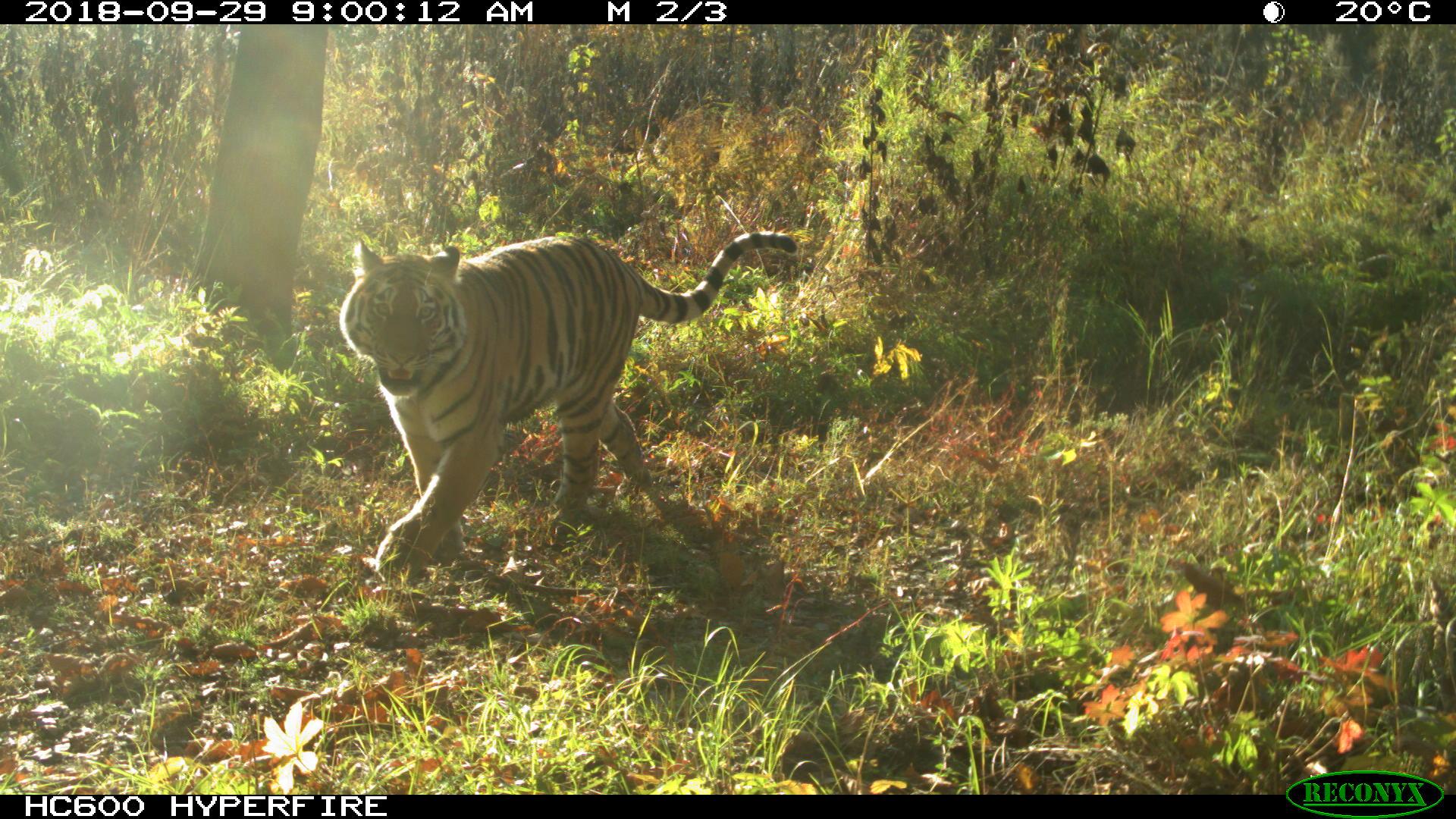 амурский тигр +в природе