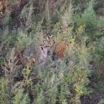 маскировка тигров