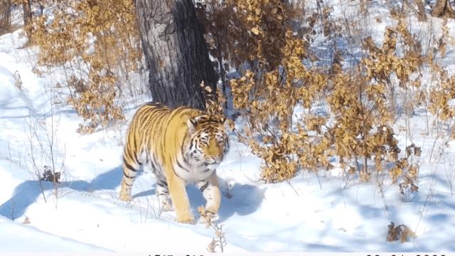 тигр елена