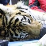 оказание помощи тигру