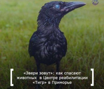 птицы серая ворона