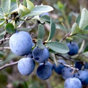 wild Siberian blueberries