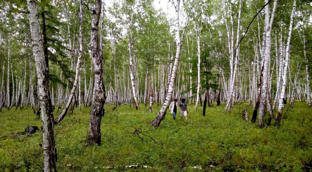 a birch woods with two people walking in it