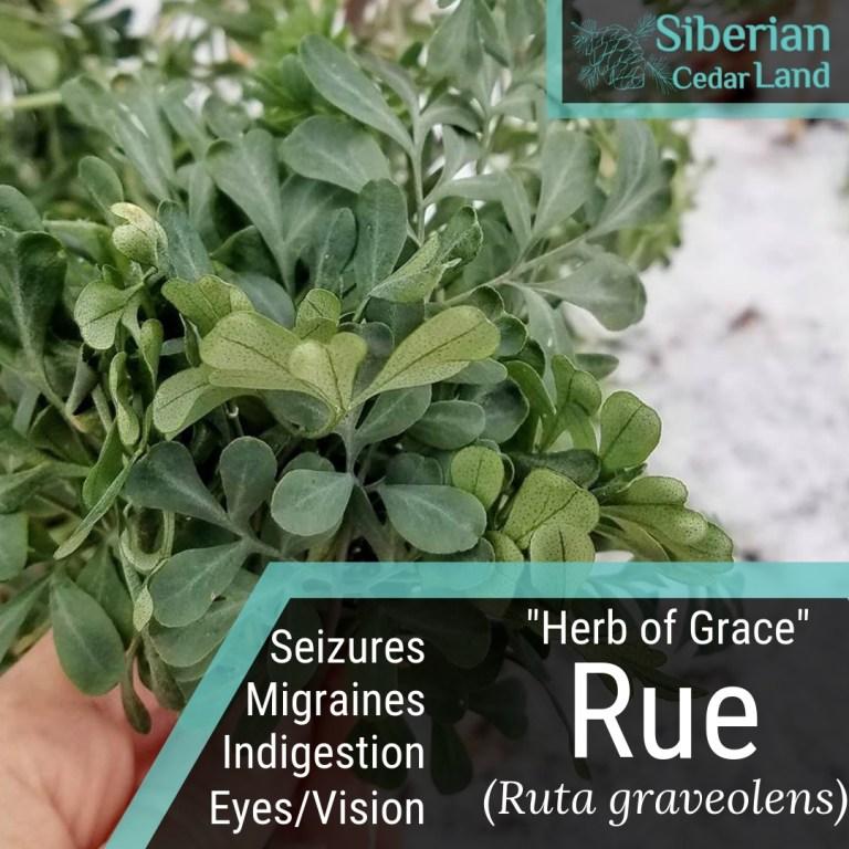 Ruda Plant Common Rue Herb of Grace Ship in 3 Tall Pot Ruta graveolens
