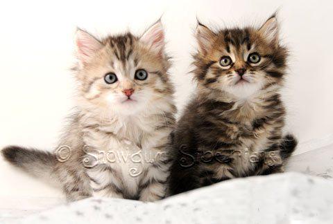 Picture Hypoallergenic Siberian kitten2