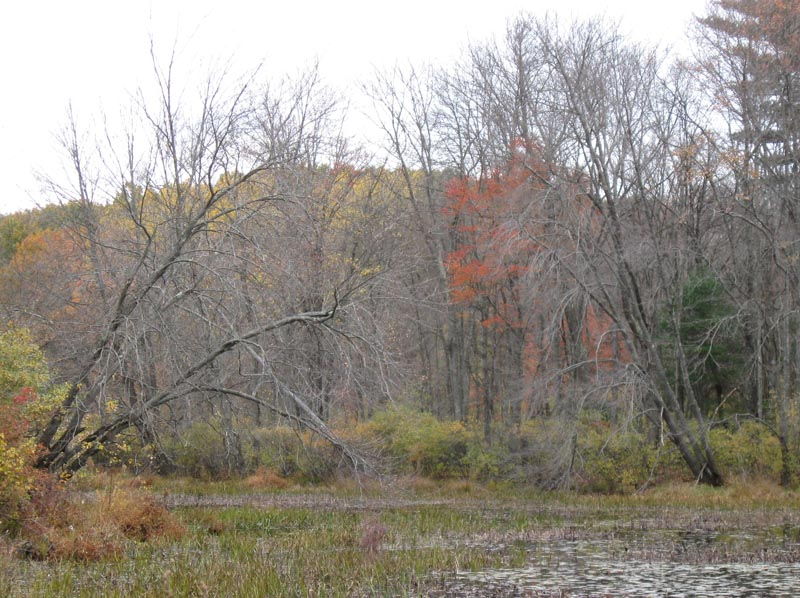 Red Maples in wet soil, 23 Oct 2009, Concord MA. Photo copyright David Sibley.