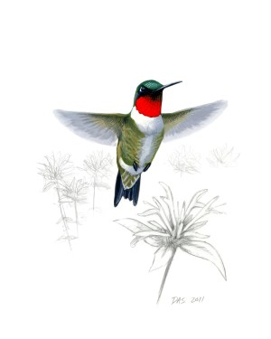 Ruby-throated Hummingbird print