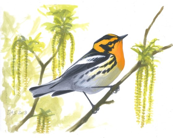 Male Blackburnian Warbler, now available as a limited edition 9 x 11 print