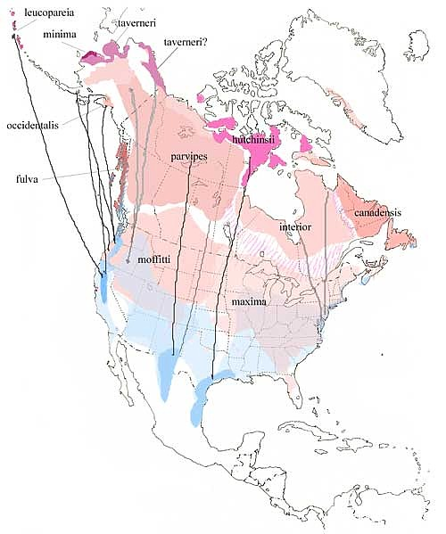 Canada Geese Migration Route Map Distinguishing Cackling and Canada Goose   Sibley Guides