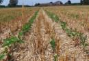 La semina su sodo