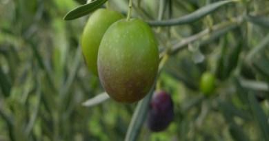 L'oliva Vaddarica a Mirto, esempio di peculiarità territoriale per lo sviluppo rurale