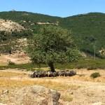 Ovejas en las montañas de Urzulei