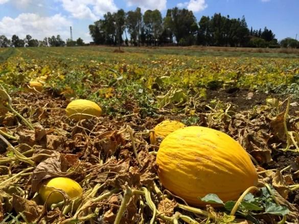 Meloni, di stagione a luglio