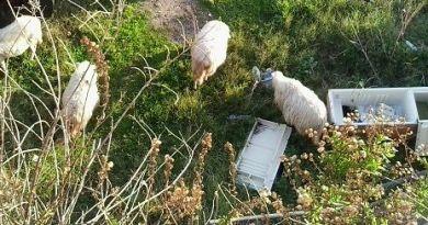 #Messina. Città senza controllo: pecore in spiaggia brucano tra i rifiuti