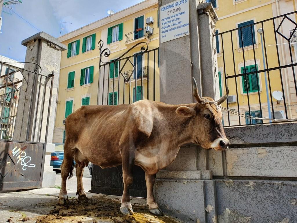 Messina, mucca abbandonata in via Buganza: AAA cercasi padrone disperatamente