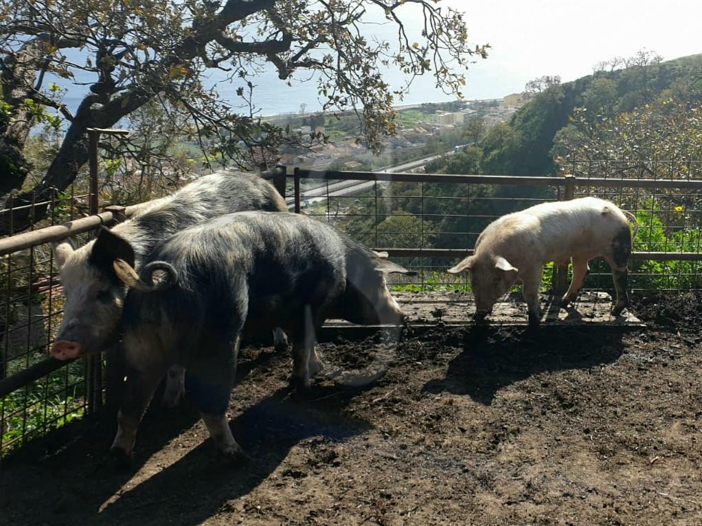 Macellazione clandestina a Messina: fermato su uno scooter con un quarto di maiale