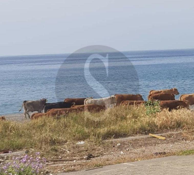 A passeggio indisturbate, due mucche seminano il panico a Barcellona Pozzo di Gotto