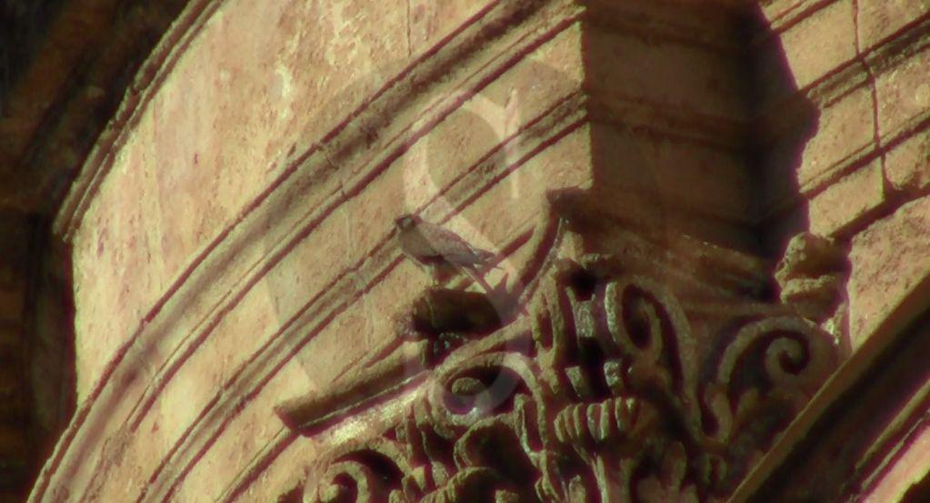 Natura e coronavirus, gheppio mette su casa sul tetto della Cattedrale di Palermo