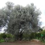 Il Patriarca della Favorita: l'ulivo millenario di Palermo !