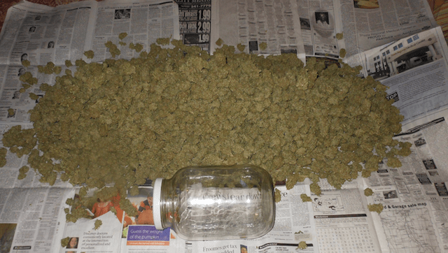 Image result for Huge amount of weed