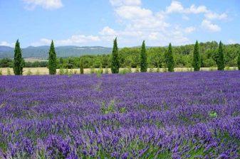 Lavendeleis