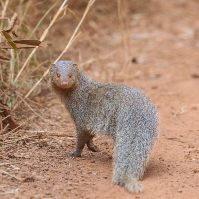 The Confident Mongoose (Tadoba national park)