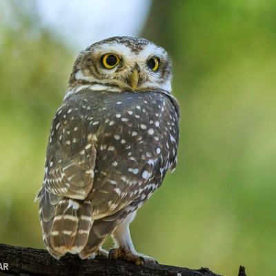 Spotted Owlet (Ranthambore national park)
