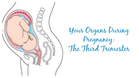 organs during pregnancy third trimester