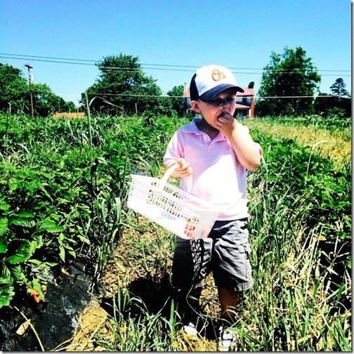 strawberry picking