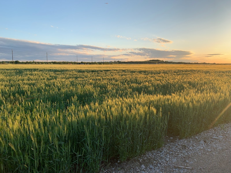 PIcture of a Kansas Wheat Field