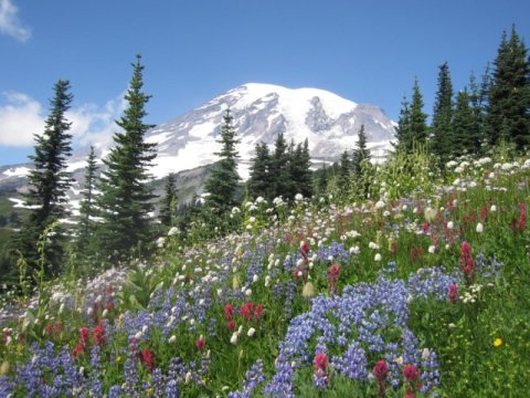 Wildflowers on Mt Rainer