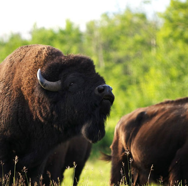 Small herd of plains bison during a summer evening at Elk Island National Park.