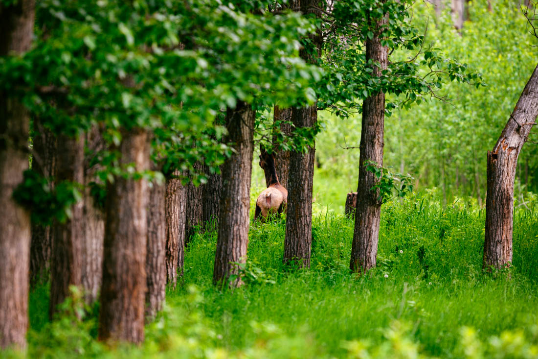Cow elk (wapiti) looks through the trees having been alerted during an early summer sunrise at Elk Island National Park on the Bison Loop.