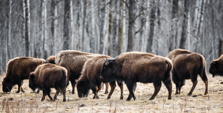 Small herd of Plains bison grazing on nutrient-deficient vegetation at Elk Island National Park.