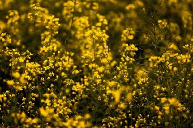 Closeup of golden canola (oilseed) crop blooms during a summer morning, Alberta agriculture.