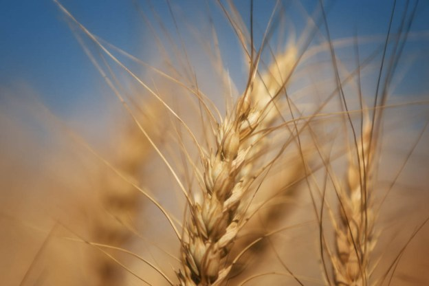 Close-up of a wheat crop during an early autumn afternoon.