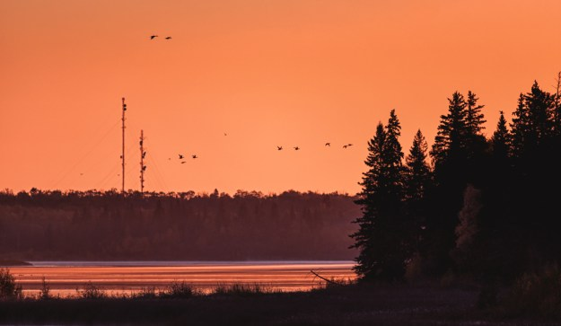 Canadian geese flying against the rising sun during an autumn morning, Alberta landscape.
