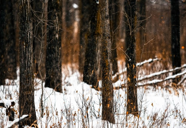 Light snow falling in the woods at Elk Island National Park at the end of the day in late January.