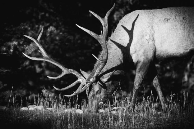 Large bull elk (cervus elaphus, wapiti) quietly eats food during the strong, early autumn morning light in Jasper National Park, Alberta wildlife.