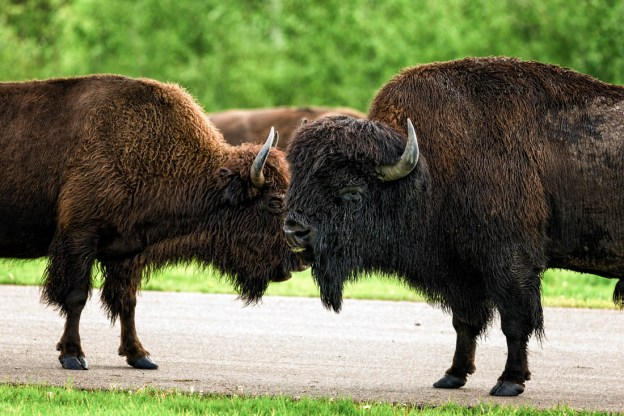 The courtship between the plains bison bull and cow (bison bison bison) show how they interact and bond during a late summer morning towards the end of the annual bison rut at Elk Island National Park, Alberta wildlife behaviour portrait.