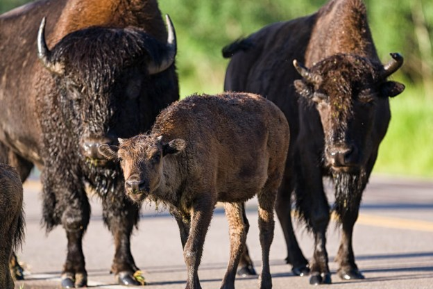 Plains bison trio, bison bull, cow, and calf (Little Red) stroll across the road on the main parkway at Elk Island National Park, Alberta extirpated wildlife.