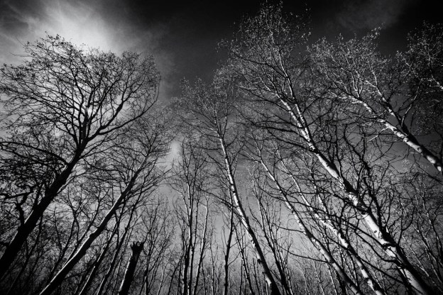 Black and white Alberta landscape of white birch trees.