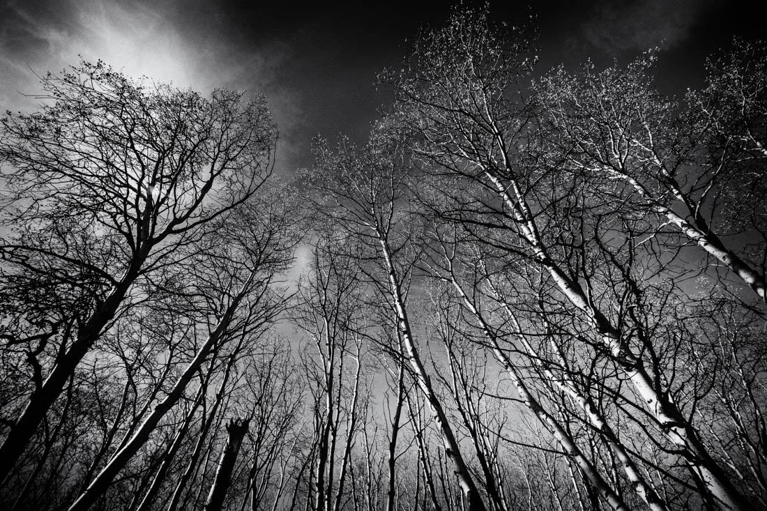Film noir bw Alberta landscape of white birch trees in Jasper National Park.