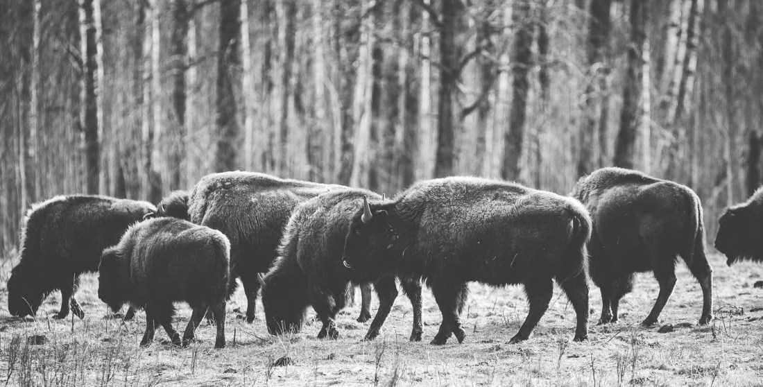 Small herd of Plains bison grazing on nutrient-deficient vegetation at Elk Island National Park, wildlife environmental portrait, early spring.