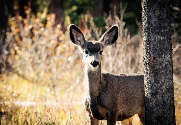Alberta wildlife, Mule deer doe (Odocoileus hemionus) stands alert with curiousity, bathed in early morning rim lighting at Jasper National Park. Copy space horizontal.