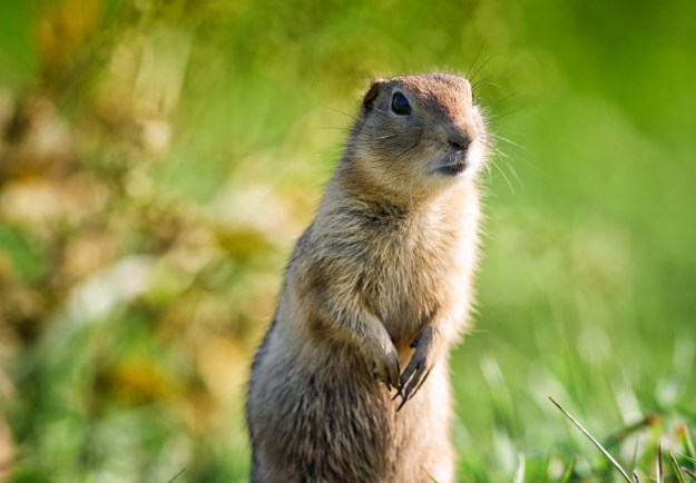 Alberta wildlife, Richardsons Ground Squirrel is standing guard at Elk Island. Copy space horizontal.