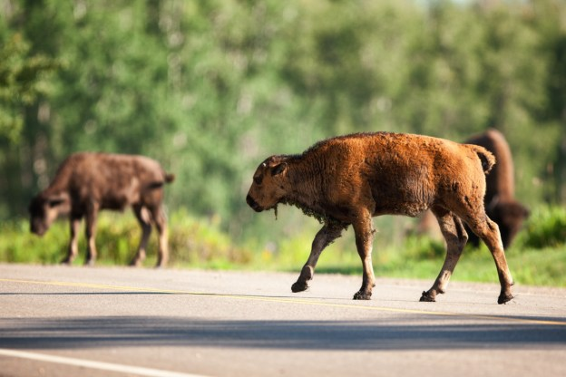 Little Red, a Plains bison calf, roams down the main parkway at Elk Island National Park during a late summer morning sunrise, Alberta wildlife. Copy space horizontal.