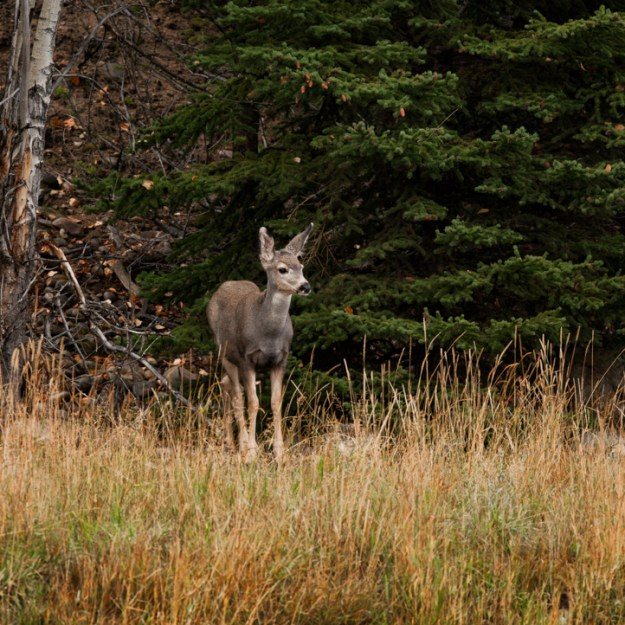 Young mule deer doe (Odocoileus hemionus) stands alert in her natural habitat as she senses the presence of others during an early autumn evening along Maligne Lake Road in Jasper National Park, Alberta wildlife.